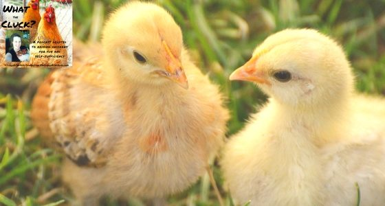 Baby Chicks Weeks 1-6 Starter Guide