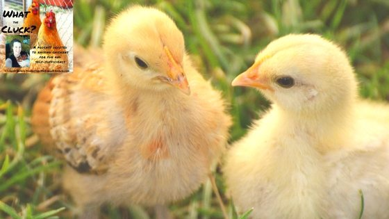 How To Care For Baby Chicks Weeks 1-6 [Podcast]