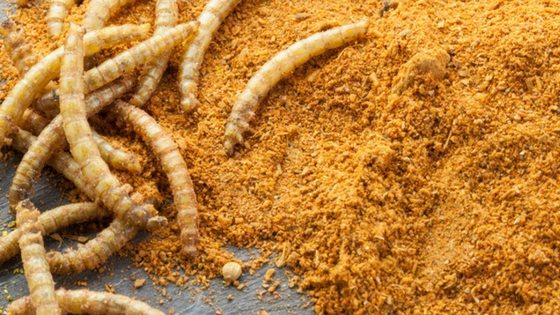 Raise Mealworms for Your Chickens To Save Money!