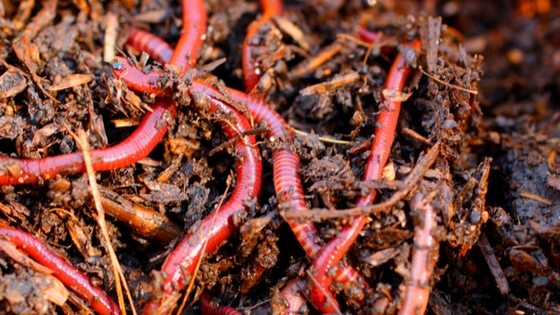 Build a worm compost bin for free garden fertilizer!