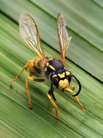 Want to get rid of wasps naturally? Here's how to do it organically!