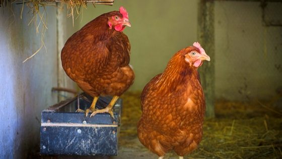 Vent Gleet Is Something Every Chicken Owner Needs To Know About