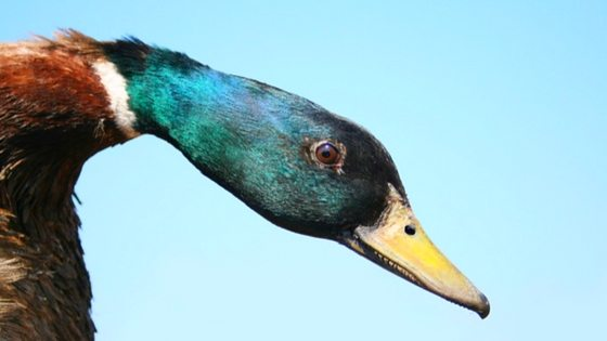Do Ducks Molt? Here's What You Need To Know!