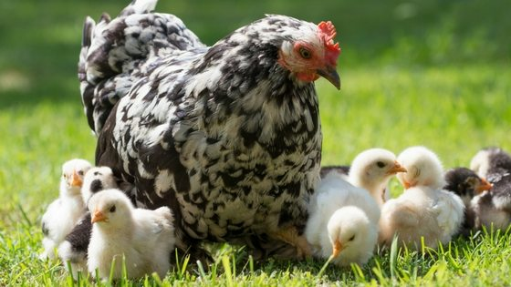 Backyard Chickens Might Give You Salmonella? Here's Deets On The CDC Warning!