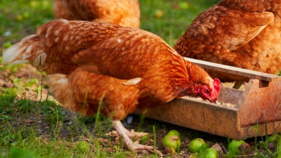 Chicken Feeding Myths BUSTED! [Podcast]