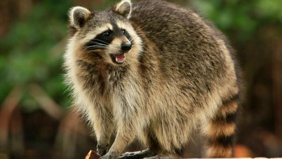 Do Raccoons Eat Chickens? Here's What You Need To Know!