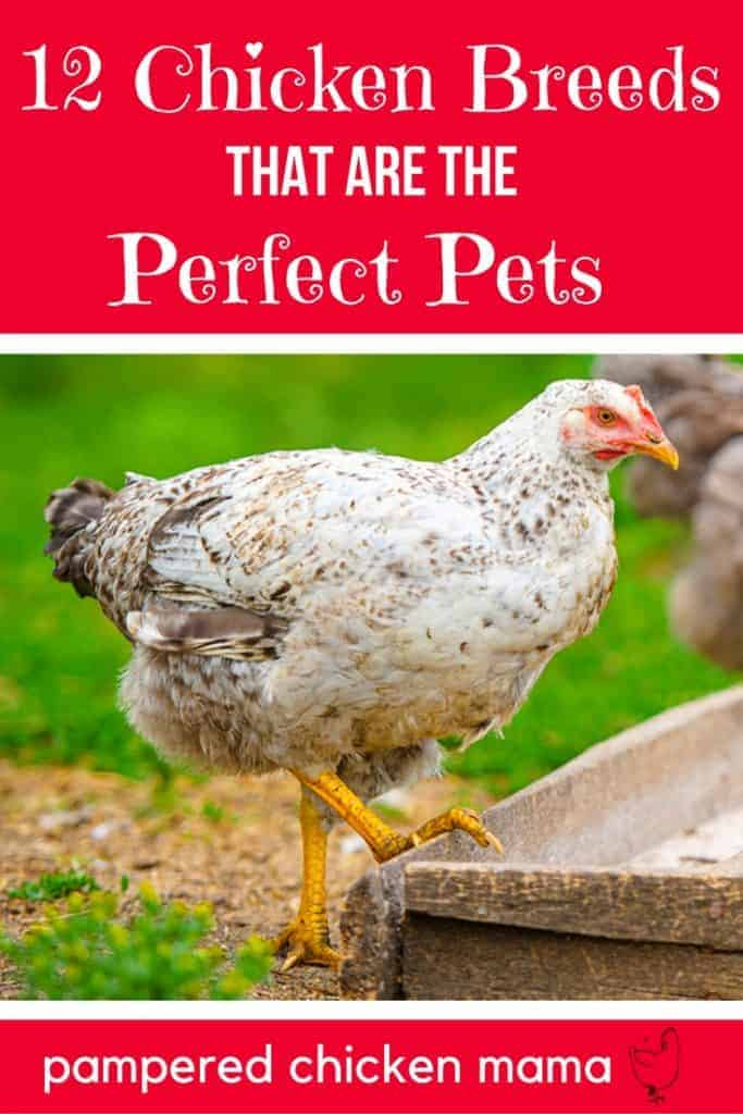 Beginner backyard chicken owner? Here's 12 super cute types of chickens that'll look great in your coop!