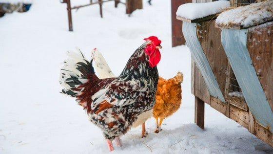 Wondering how to keep a chicken coop warm in winter? Keep your backyard chickens toasty warm with these 6 genius hacks!