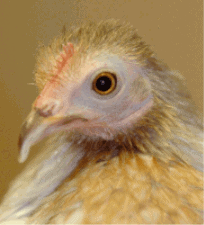 Wondering how long do chickens live? Your backyard chickens can live quite a while!