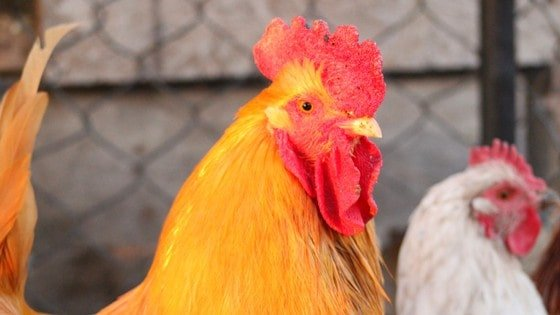 Wondering can chickens lay eggs without a rooster? If you keep a rooster and chickens, you'll need to know this backyard chicken for beginners idea!