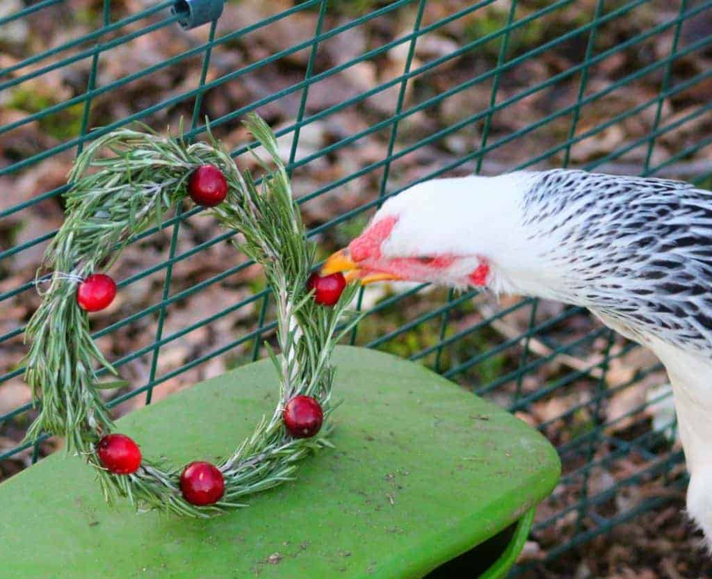 Make an easy DIY holiday wreath with herbs and berries for your backyard chicken coop!