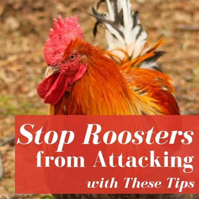 How To Stop A Rooster Attack