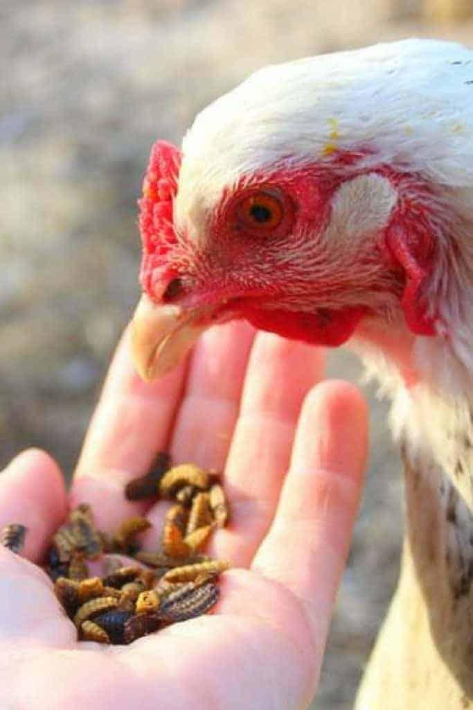 black soldier fly larvae backyard chicken treat
