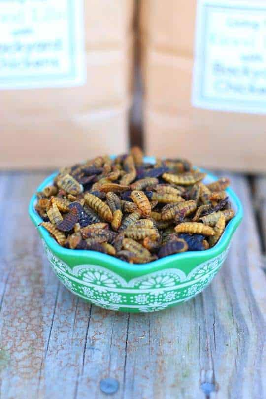 black soldier fly larvae for chickens in a bowl