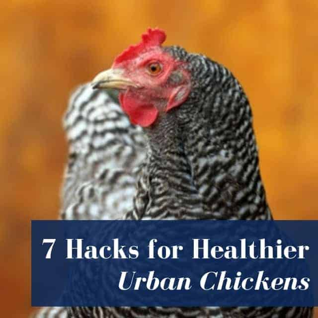 7 Hacks for Healthier Urban Chickens!