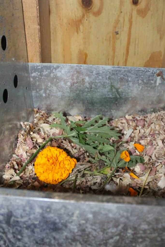 Ways To Keep Flies Gnats And Mosquitoes Off Your Chickens Marigold And Citronella 683x1024
