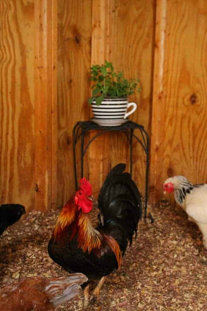Ways To Keep Flies, Gnats, And Mosquitoes Off Your Chickens