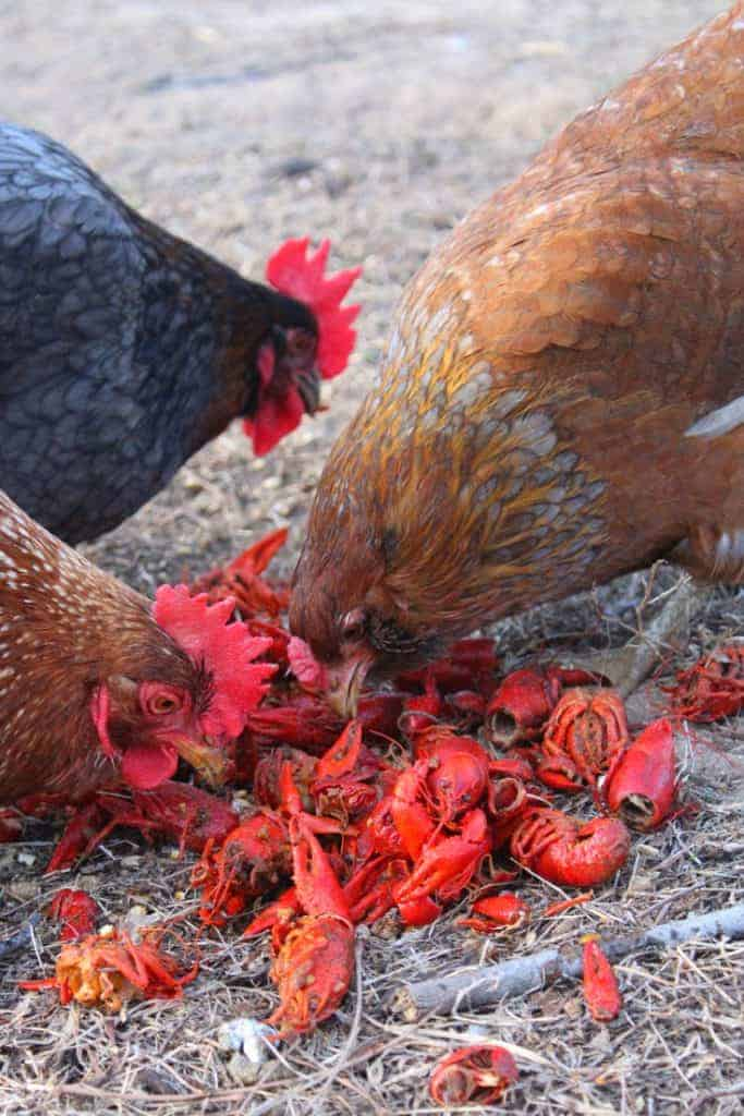 What do chickens eat araucana chicken crawfish