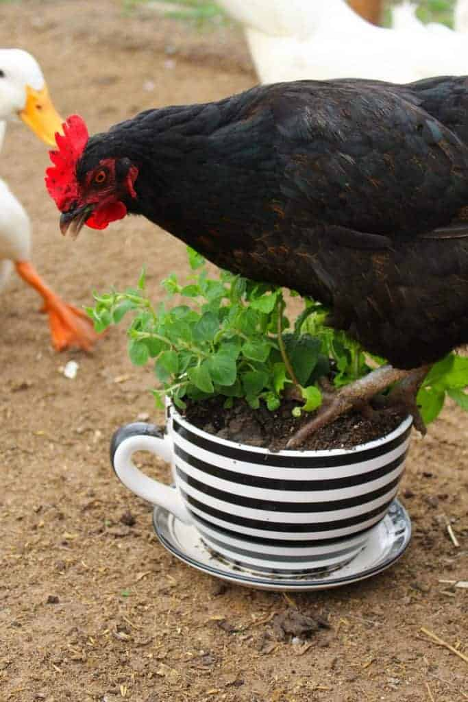Backyard chicken herb pot