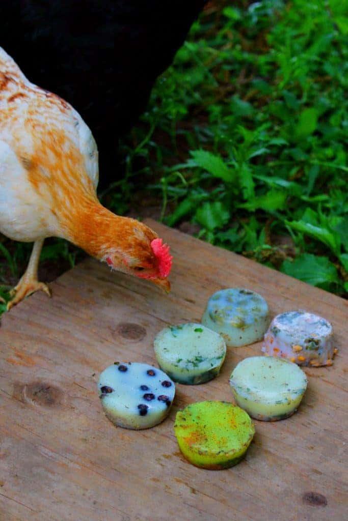 backyard chicken beef tallow treat