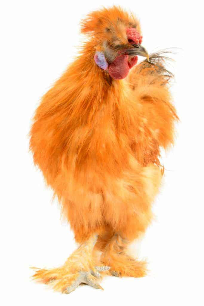 Silkie chicken pet facts and fiction