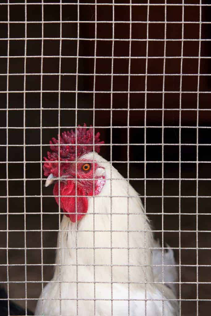 What Chicken Wire Is Best For A Coop