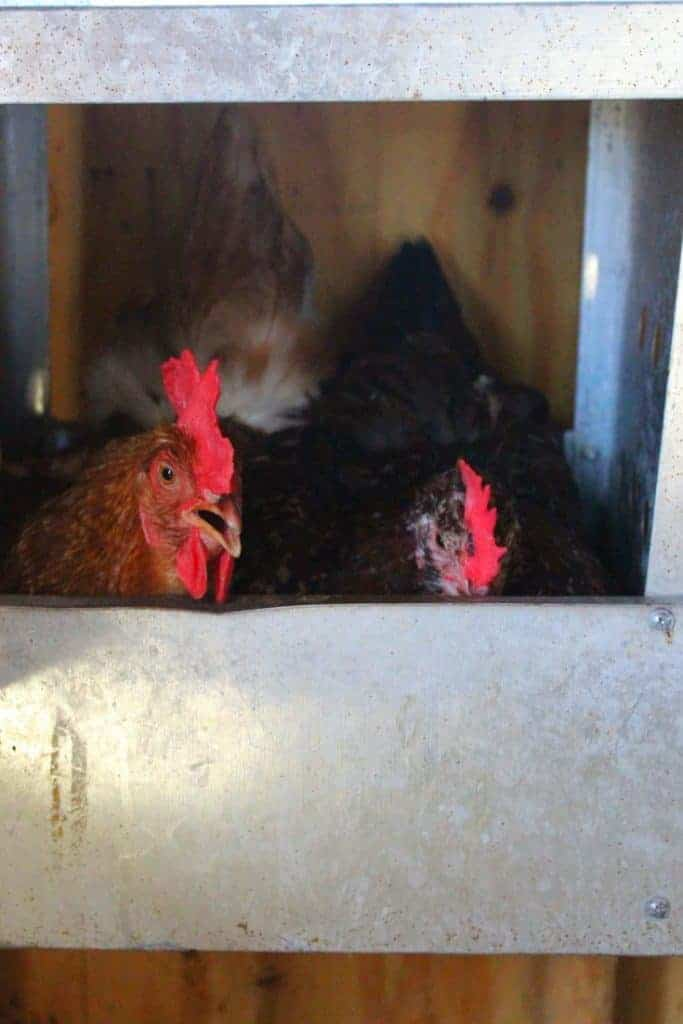 hens in nesting boxes