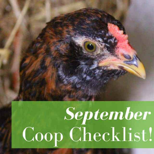 What To Do In Your Chicken Coop In September