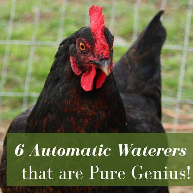 automatic backyard chicken waterer ideas