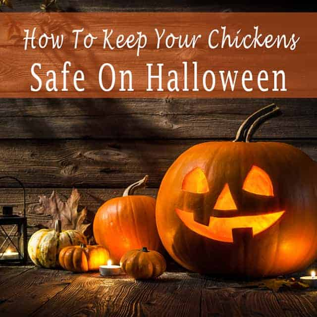 Keep Your Chickens Safe On Halloween Pampered Chicken Mama