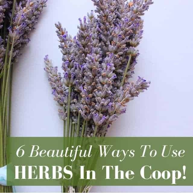 6 Beautiful & Easy Ways to Use Herbs in Your Chicken Coop
