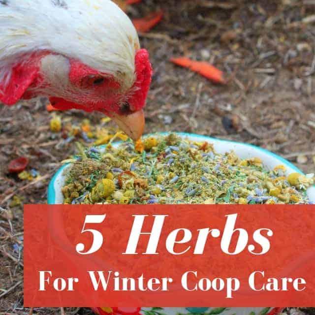 5 Herbs Every Chicken Mama Needs