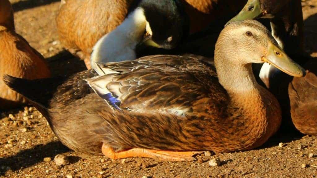 duckling backyard chicken flock