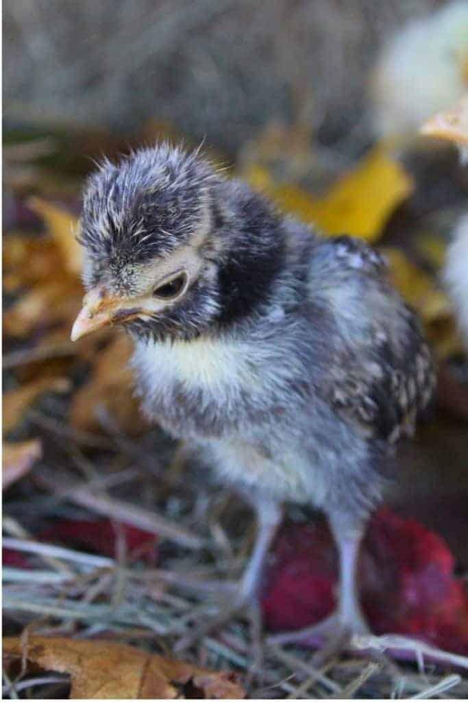 backyard chicken baby chick