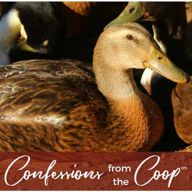 Will we have new chicks??? Confessions from the Coop (TM)