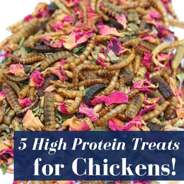 High protein treats backyard chickens