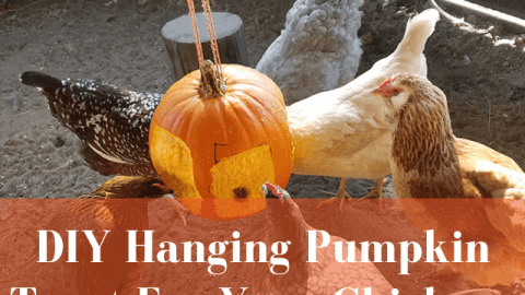 DIY Hanging Pumpkin Treat for your chickens!