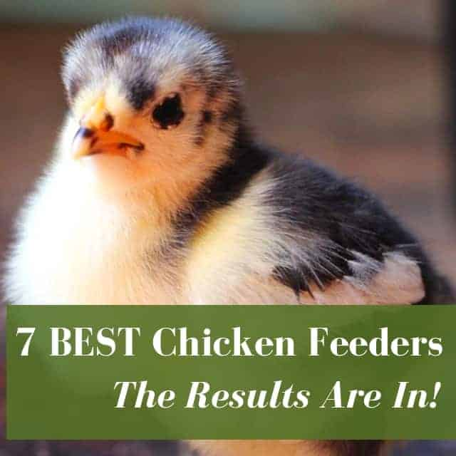 7 Best Chicken Feeders: Buyer's Guide To No Waste Feeders