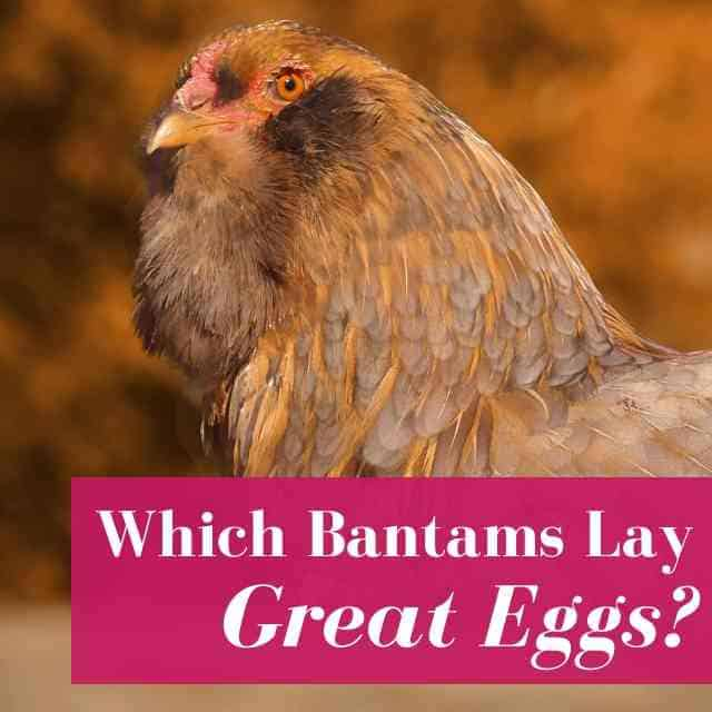 Which Bantams Lay Great Eggs?
