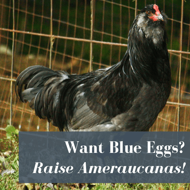 Ameraucana Chickens: Know Before You Buy!