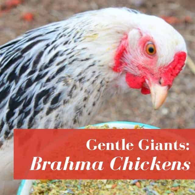 Brahma Chickens: What To Know Before You Buy!