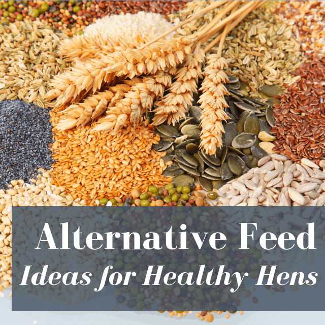 Alternative Feed For Chickens: Best Ideas!