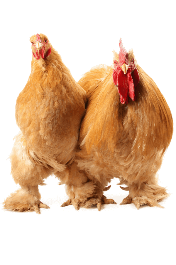 buff cochin chicken roosters