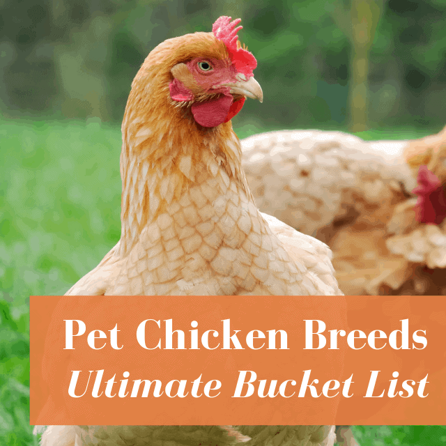 Chicken Breeds: Egg Layers, Giant Chickens, & More!