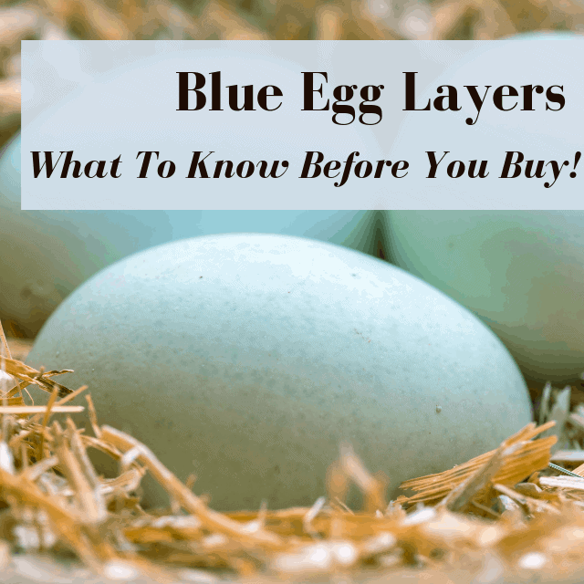 Chickens That Lay Blue Eggs: Buyer's Guide