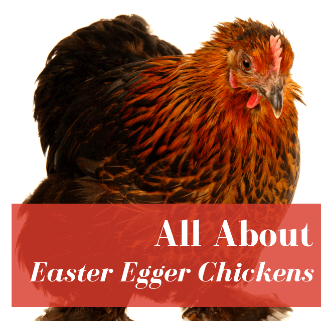 Easter Egger Chickens: Egg Color, Personalities, And More!