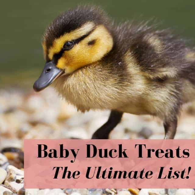 """What Do Baby Ducks Eat"" Ultimate List Of Treats, Feed, Fruits, & Vegetables"