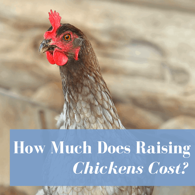 How Much Does It Cost Own A Chicken? Egg Cost Comparison