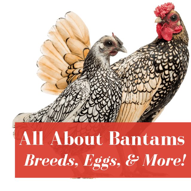 Bantam Chickens: Owner's Guide | Pampered Chicken Mama