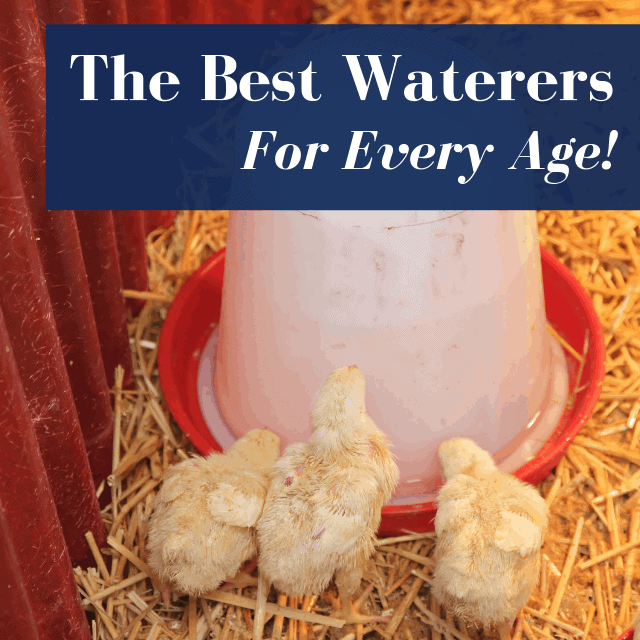 best chicken waterer with chicks